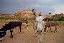Ghost Ranch donkeys